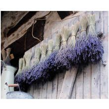 Drying lavender...