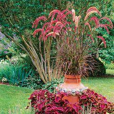 plant, grasses in the garden, purpl fountain, fountain grass, garden idea, container gardening