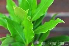 Growing Bay Laurel in a Pot