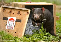 Today is a wonderful milestone for Zoos Victoria: eight Tasmanian Devils from Healesville Sanctuary will be returned to the wilds of Tasmania – for the first time ever today. They will be released on Maria Island off Tasmania's East Coast to join a small population of disease-free devils established there over the past year.