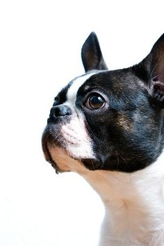 Boston Terriers boston-board - Click image to find more History Pinterest pins