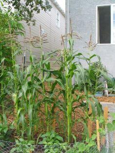 How to grow corn!