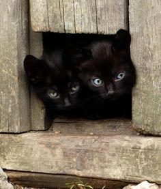 We have our eyes on you! black kitti, baby george, adventure time, black kitten, black cats, green eyes, beauty, twin babies, funny kitties