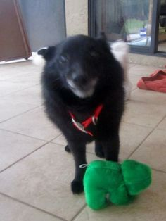 Meet Cracker Jack a Petfinder adoptable Schipperke Dog | Palm Harbor, FL | Cracker Jack is an active 10-year-old Schipperke mix who loves to explore.  He loves to play, be...