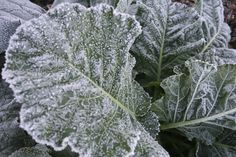 Which veggies for which season? Collards, cabbage, spinach and kale are cold-hardy. Click here for the full list of veggies by season