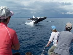 Feb 2014: Study finds Hervey Bay in south-east Queensland as a pivotal habitat for humpback whales: http://www.abc.net.au/news/2014-02-20/study-finds-hervey-bay-a-pivotal-habitat-for-humpback-whales/5271640  Humpback Whale Watching in the calm waters on the lee side of Fraser Island #HATH #fraserisland #queensland #australia #humpbackwhales #whalewatching http://www.whalewatch.com.au/ www.queensland.com/whales