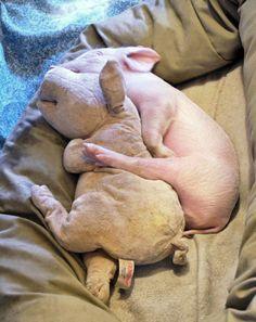 Snuggle buddies! #socute #adorable #pig #animals