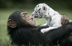 When hurricane Hannah separated two white tigers from their mother, Anjana came to the Rescue. Anjana, a chimp at TIGERS in South Carolina, became surrogate mom and playmate to the cubs, even helping with bottle feeding, according to The Sun. But here's the truly amazing part: This is something Anjana does all the time, having helped raised leopard and lion cubs on several occasions.