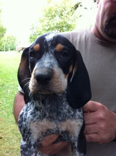 Bluetick coonhound puppy yup this is happening can t wait more