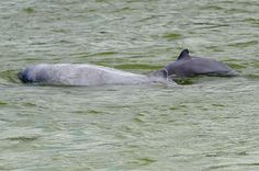 Two dolphins twisting playfully in Mekong River in Kratie province, some 186 miles (300km) north-east of Phnom Penh. Vietnam urged Laos to halt construction of a 3.5bn hydropower dam on Mekong River pending further study, environmental activists said on Friday