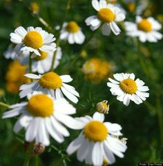 Homegrown Herbal Teas: Chamomile, Lavender, Clover And Other Custom Brews