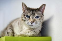 Celeste (10yrs) has striking blue eyes, and a spicy personality to complement her Siamese nature. Her lynx point coat will lure you in, and you'll be smitten once you see her. She loves to chase the laser light and has plenty of extra energy for other games. She also loves cardboard scratchers! Come meet Celeste at PAWS in Lynnwood, WA today. Her adoption fee is waived as part of our Senior Cat Adoption Special for cats 10yrs+. http://www.paws.org/cats-and-dogs/adopt/available-pets/