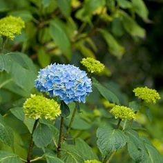 Black-Stem Hydrangeas stand out in your garden! More varieties here: http://www.bhg.com/gardening/trees-shrubs-vines/shrubs/hydrangea-guide/?socsrc=bhgpin071914blackstemhydrangea&page=8