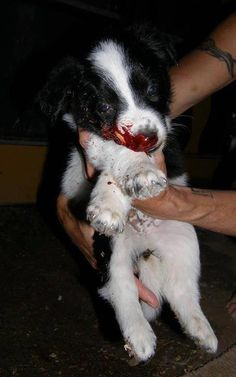 #Mass #slaughter of strays going ahead in #Romania!!!! We demand action! #SIGN & #SHARE #PETITION If you would like to also demand action and answers please contact the Romanian and EU politicians and ask how this can be happening in an EU country – demand answers and action. We ask you for an URGENT STERILIZATION & RETURN LAW OF ALL STRAY AND OWNED DOGS Romania is already known by animal cruelty!!!