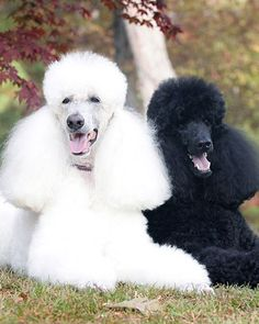 standard poodles, anim, dogs, diet, black white, brad pitt, beauty, dog art, black poodles
