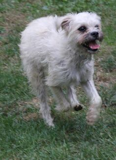 Meet our Memphis girl! Her name is Izzy! We think she is a Shih Tzu Pug mix, or terrier? She is about 12 lbs and she is 6 months of age. She is house and crate trained. She was at a high kill shelter in Memphis. We walked by her cage, and said she...