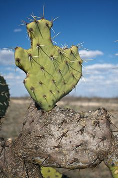 Texas shaped prickly pear cactus leaf by Pimento of Doom on Flickr