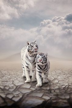 white tigers, wild, big cats, animals, art, white cats, beauty, beautiful creatures, bigcat