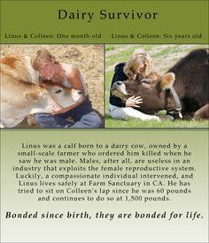 Dairy Industry Survivor