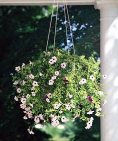 mini petunia, hang basket, hanging plants, hang plant, minis