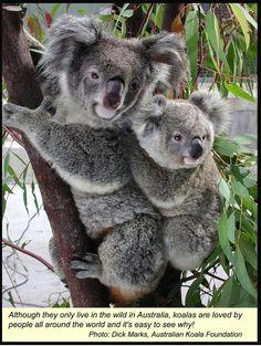 Koala((((: