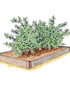 Grow blueberries