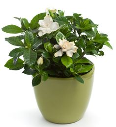 Helpful Office Plants -   Gardenia (Gardenia augusta)    Benefit: Stimulates your brain  Light: Direct  Care: Moderate  It's like a long-acting antidepressant. A gardenia can live for 25 years, and every time you smell its flowers, your emotional outlook improves, according to research from Rutgers.
