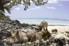 This is pig island in the Bahamas where thereAte tons of wild pigs but no humans. Can I live here?
