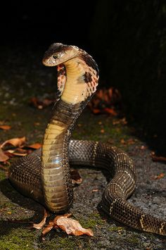 The Chinese cobra (Naja atra), also called Taiwan cobra, is a highly venomous member of the true cobras (genus Naja). Its venom consists mainly of postsynaptic neurotoxins and cardiotoxins. The Chinese cobra is a very alert, seldom cornered, but if confronted will raise its forebody and spread its hood and strike readily if necessary. Adults can be very aggressive, but the younger tend to be more aggressive as they are more nervous to the things surrounding them.