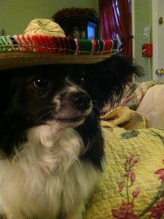papillion pashie wears sombreros
