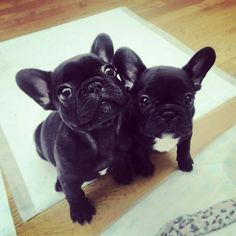 French Bulldog Puppies, yes please!
