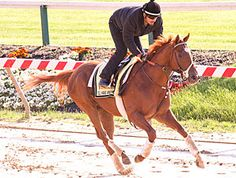 Derby Winner, I'll Have Another, gallops at Pimlico in preparation for the Preakness Stakes.
