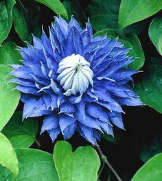 Clematis Multi Blue...ooooooo! Where does THIS grow, I wonder?!