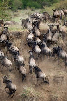 Wildebeest running in the Serengeti, Tanzania, Africa
