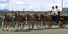 images of draft mules - Bing Images