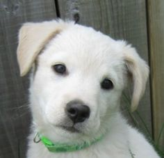Boofle is an adoptable Golden Retriever Dog in London, ON. Hi, my name is Boofle! I am three months old and I am excitedly searching for my permanent and loving home! I am an energetic mid-large sized...