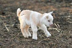Pygmy Goat....awwwwwww!