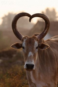 heart curved horns