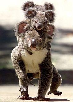 Koala piggy back!