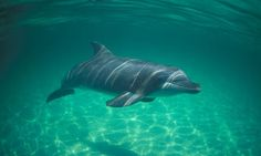 [][][] Gulf's dolphins pay heavy price for Deepwater oil spill. New studies show impact of BP's Deepwater Horizon disaster on dolphines and other marine wildlife may be far worse than feared. Peter Beaumont, guardian.co.uk, March 31, 2012.