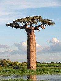 Baobab trees store up to 32,000 gallons in their swollen trunks to survive the sometimes harsh drought conditions in which they must survive. sweet, i have ten (or more) in my campus!