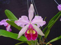 favorit orchid, orchid mystiqu, cattleya hardyana