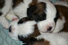Saint Bernard Puppies 1 week born picture | Adorable Akc St. Bernard Puppies For Sale in Soldiers Grove, Wisconsin ...