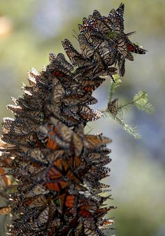 The leaning tower of butterflies: Mass of Monarchs in Mexico makes the heart flutter with joy. I hope to see this in person some day ♥