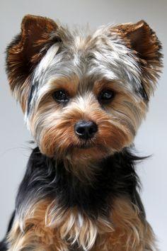 yorkies haircuts, yorki haircut, yorkie puppies, pet, new haircuts, yorkie haircuts, dog, yorkshire terriers, yorkies puppies