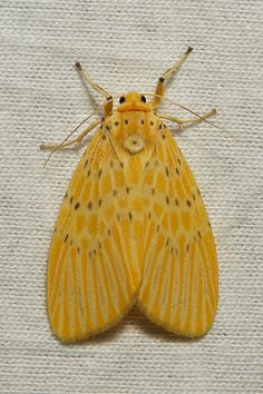 Arctiid Tiger Moth (Arctiidae) by itchydogimages, via Flickr