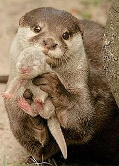 Momma and baby otter!