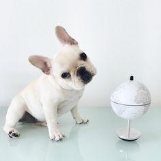 My future french bulldog!