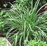 Lemon Grass (Cymbopogon citratus) An easily grown perennial herb, essential to Thai and Southeast Asian cuisine. It is also used ...