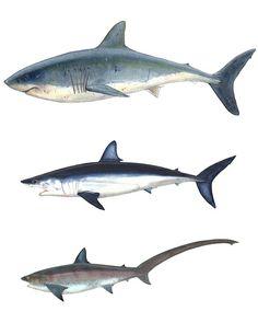 NEW ENGLAND SHARKS TRIPTYCH print